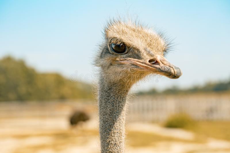 Ostrich bird head and neck front portrait in the park stock photos