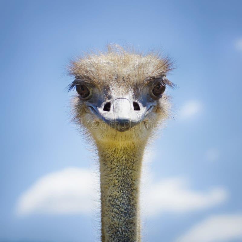 Ostrich Bird stock photography