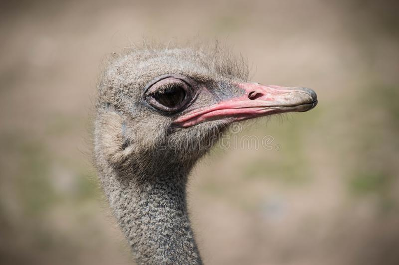Ostrich close up at Blackpool Zoo royalty free stock photo