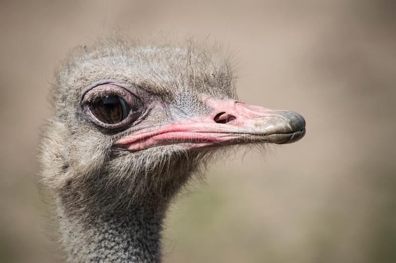 Ostrich close up and sharp at Blackpool Zoo stock images