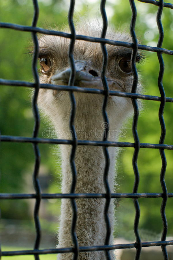 Ostrich in a cage stock images