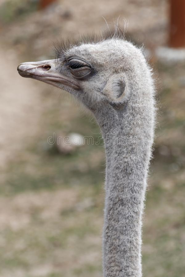 An ostrich with its eye partially closed royalty free stock images