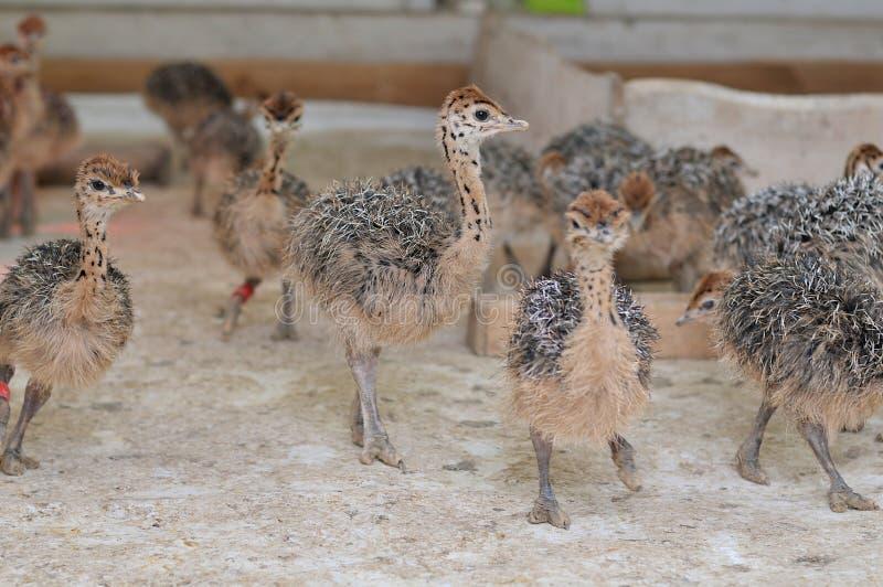 Ostrich children. Small ostrich children close up stock photos