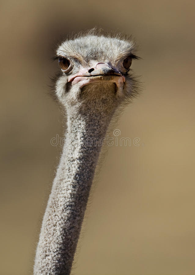 Ostrich close-up in Naukluft Mts, Namib desert royalty free stock photo