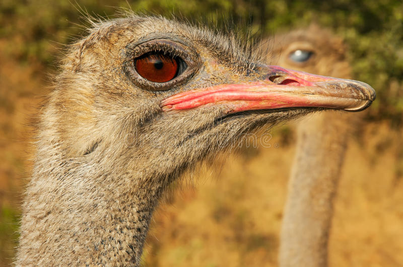 Download Ostrich Closeup stock photo. Image of stare, nature, feathers - 26835112