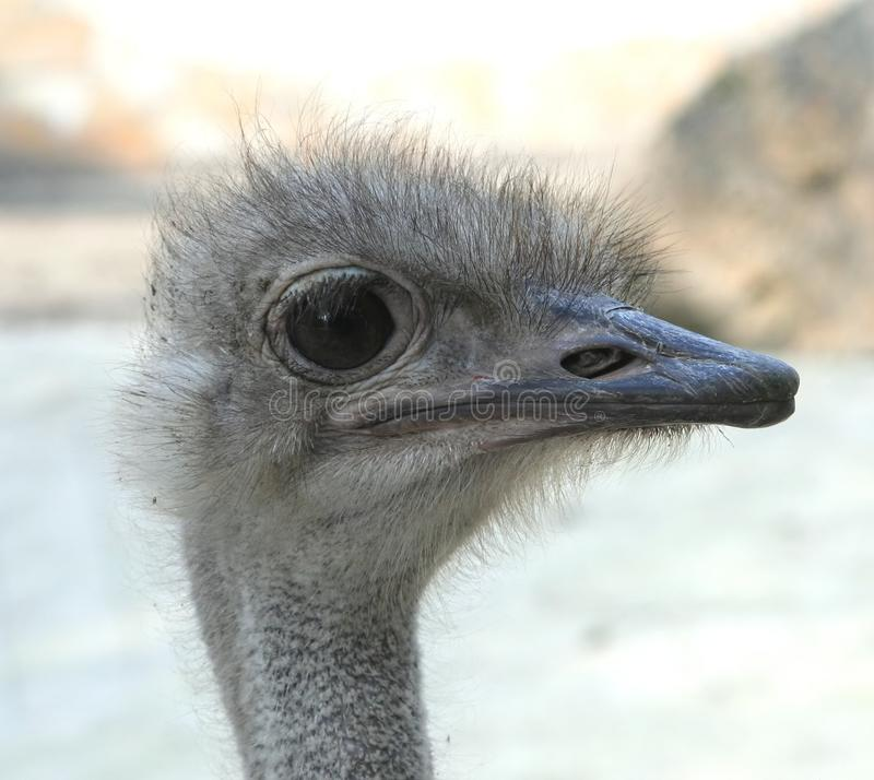 Download Ostrich stock image. Image of bird, portrait, nature - 36636747