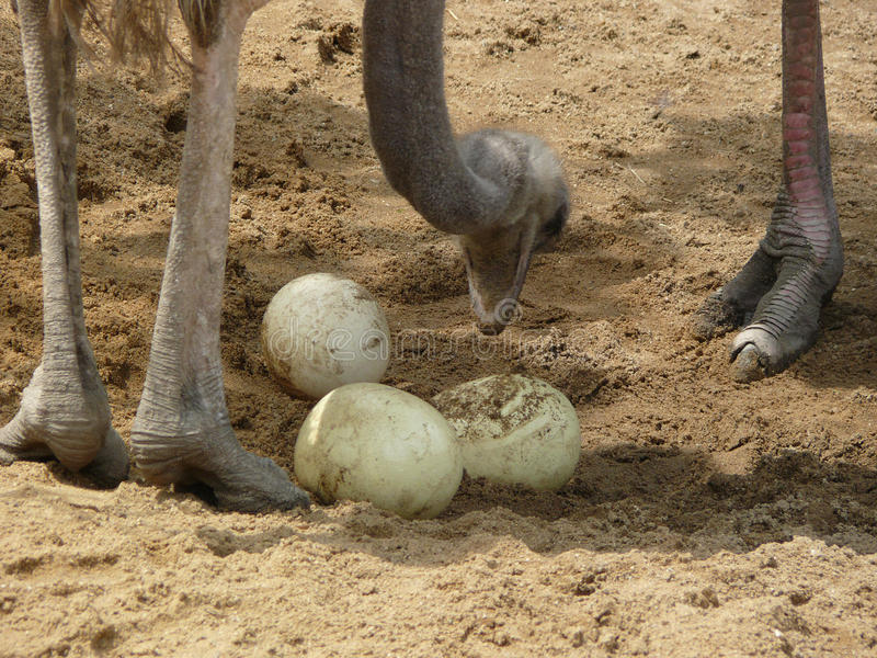 Ostrich with eggs. Ostrich with three eggs in zoo Jihlava in Czech republic stock photo