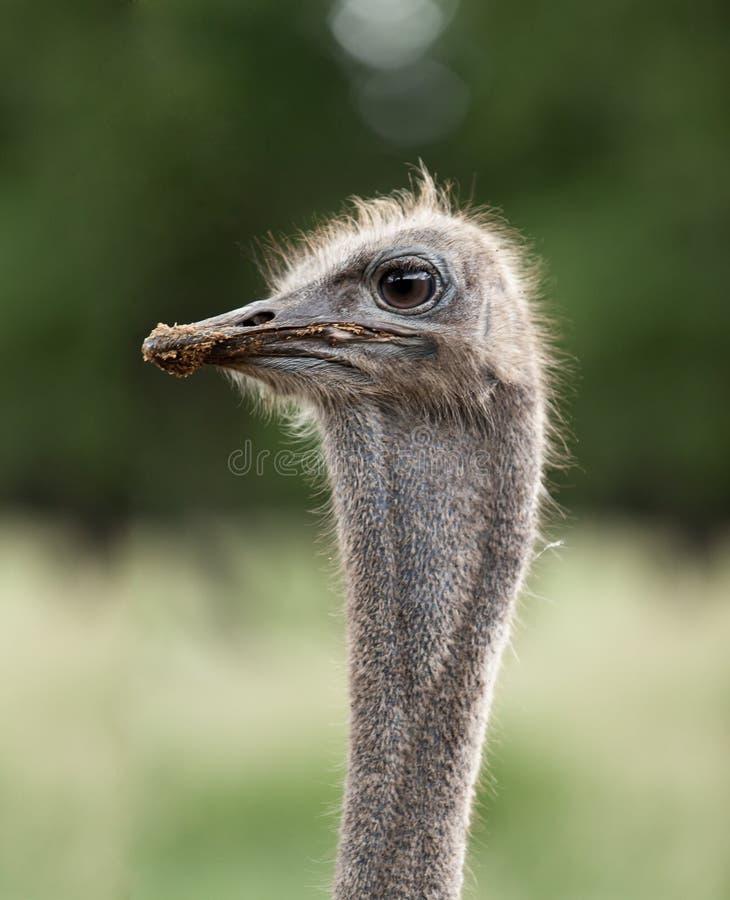 Download Ostrich emu head stock photo. Image of ostrich, strauss - 25094714