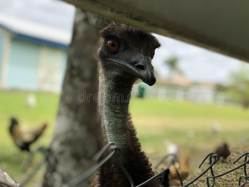 Ostrich, Emu, Ratite, Bird royalty free stock images