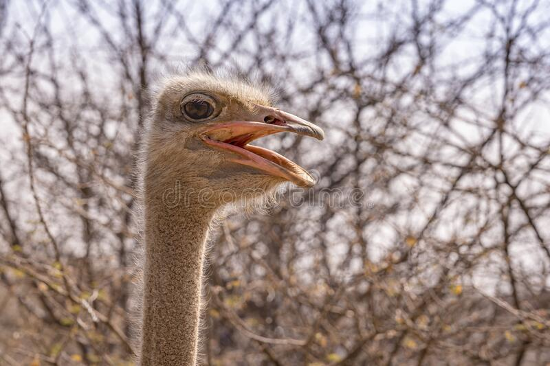 Ostrich in the Etosha National Park in Namibia. stock photos