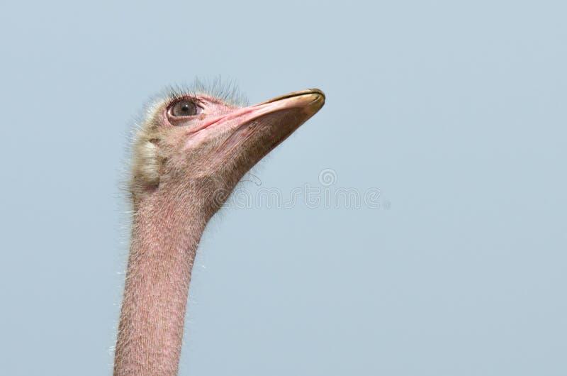 Ostrich Eye Stock Photography