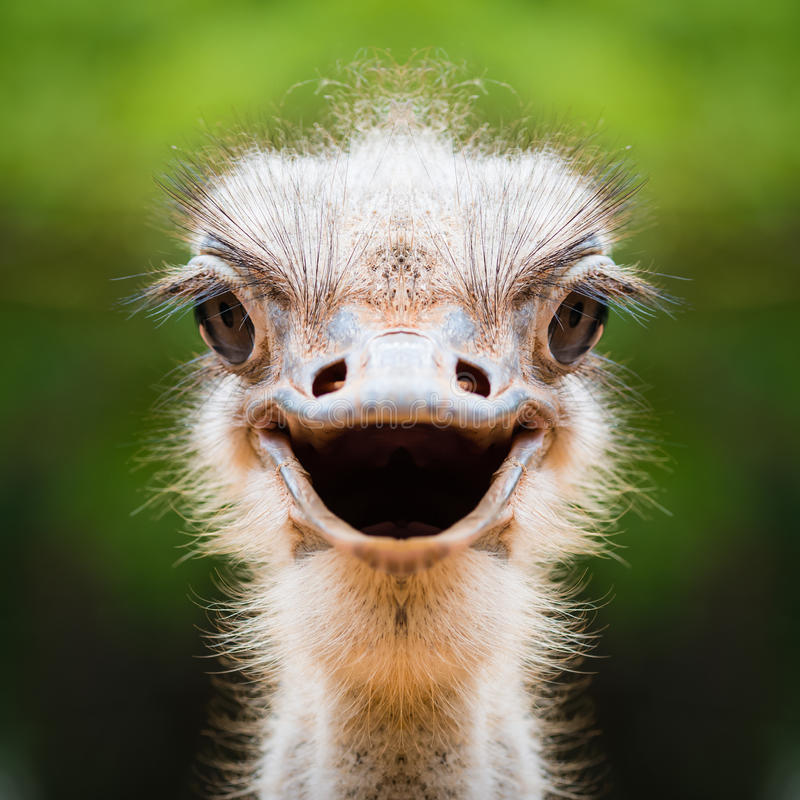 Ostrich face close up stock photo
