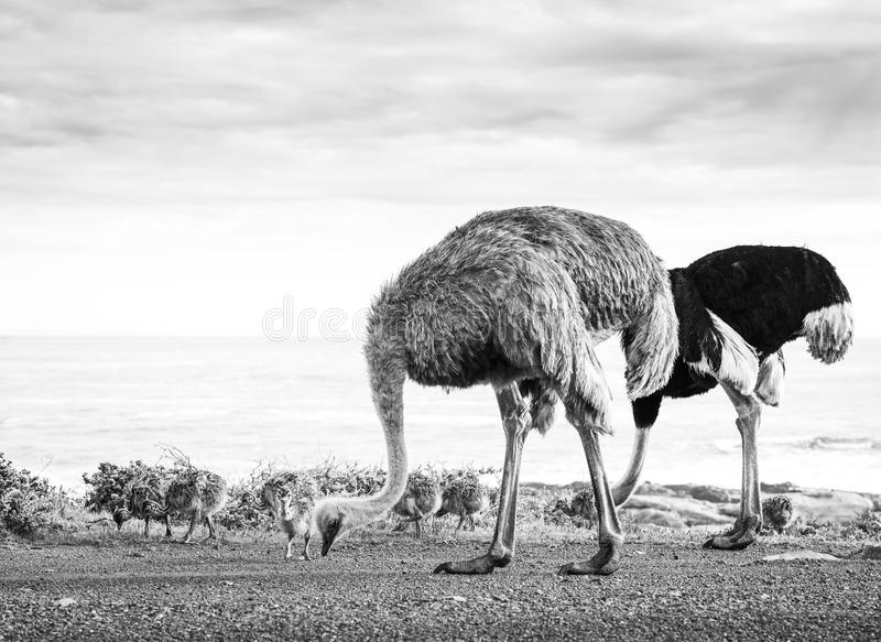 Ostrich Family With Chicks Black and White stock photo