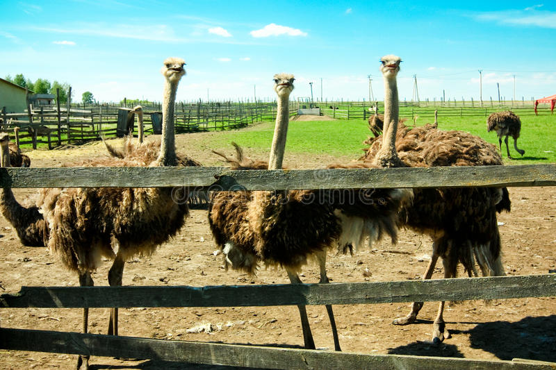 Ostrich Farm Royalty Free Stock Photography