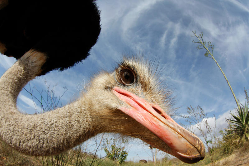 Ostrich on a farm. An ostrich close shot at enclosure on a farm during a sunny day in the island of mallorca, spain royalty free stock photography