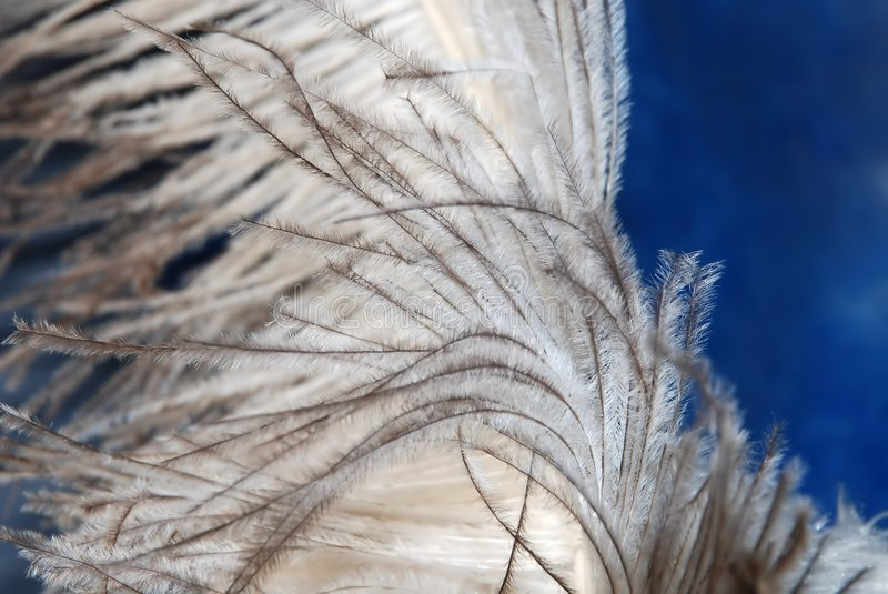 Ostrich feather texture on blue stock photos