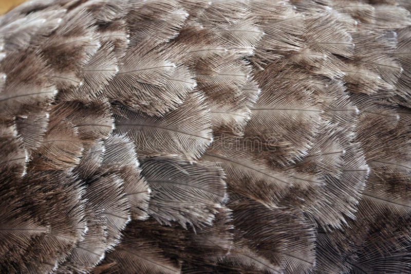 Ostrich Feathers stock photography