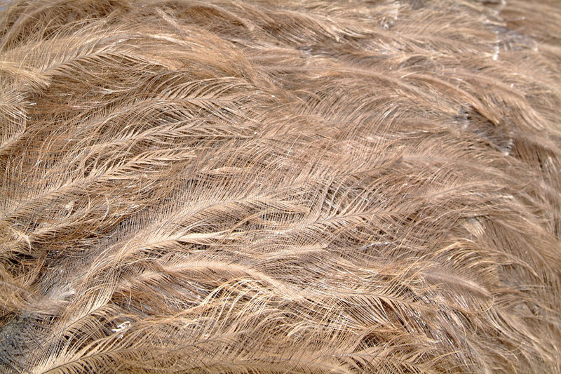 Ostrich feathers royalty free stock images
