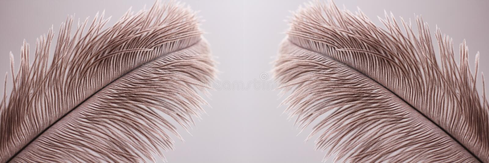 Ostrich feathers texture background. Close-up details. Long horizontal banner. Header format. Your text space stock images
