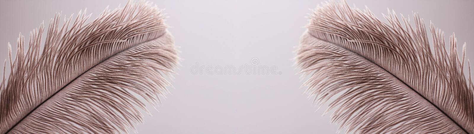 Ostrich feathers texture background. Close-up details. Long horizontal banner. Header format. Your text space stock photography