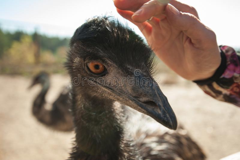 Ostrich and female hands royalty free stock image