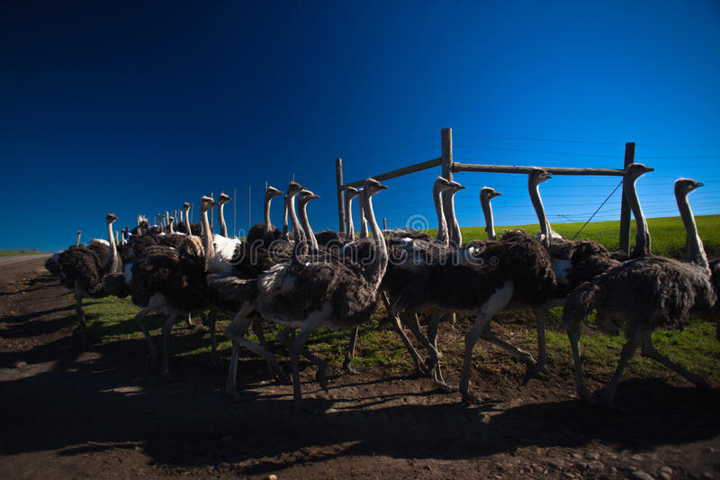 Download Ostrich Flock Birds stock photo. Image of food, feathers - 25372098