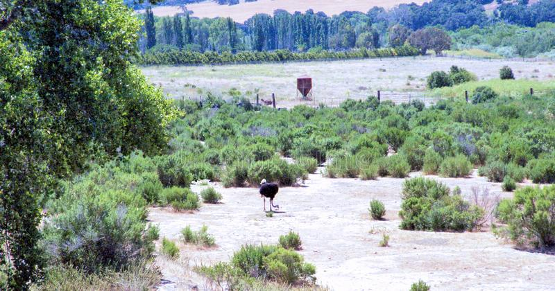 Ostrich Foraging For Food In Santa Ynez Valley stock photography