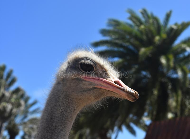 Ostrich in front of Beautiful Background royalty free stock images