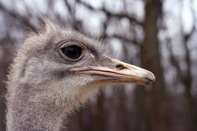475 Ostrich Has Photos Free Royalty Free Stock Photos From Dreamstime