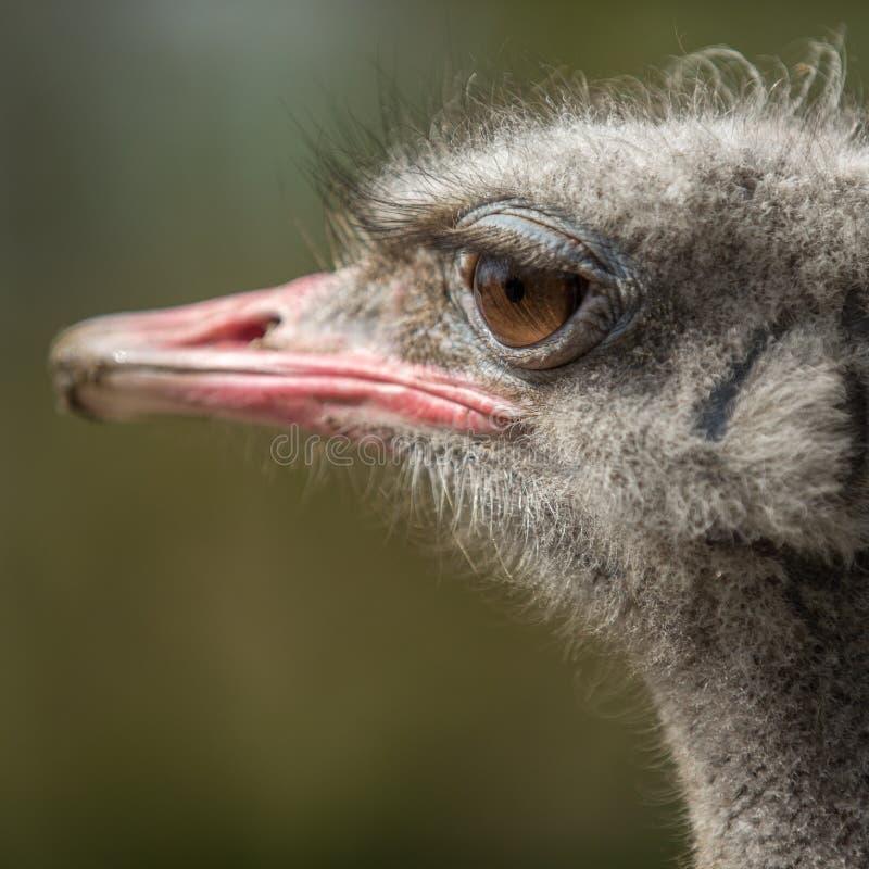 Ostrich Head , big eyes avestruz stock photography