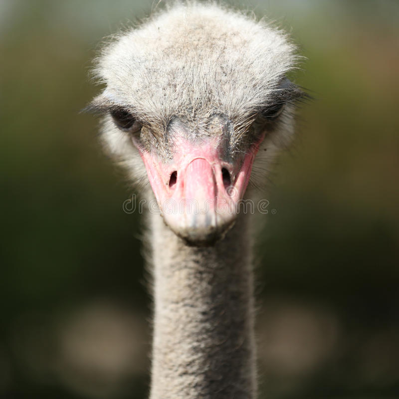 Ostrich Head , big eyes avestruz stock images
