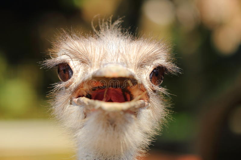 Ostrich Head Close-up Stock Images
