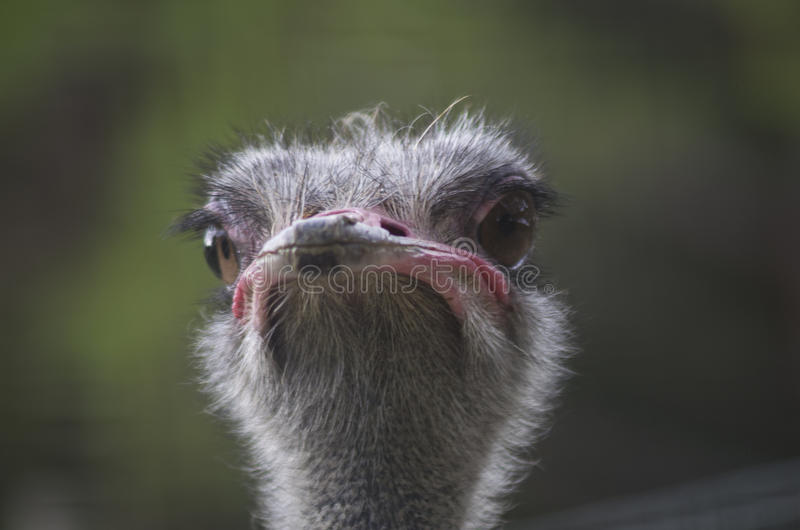 Ostrich face. A close-up of the face of a ostrich (Struthio camelus) which underlines its snob and funny expression royalty free stock photography