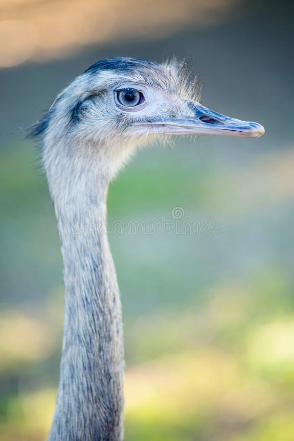 Ostrich. Head closeup vertical composition royalty free stock images