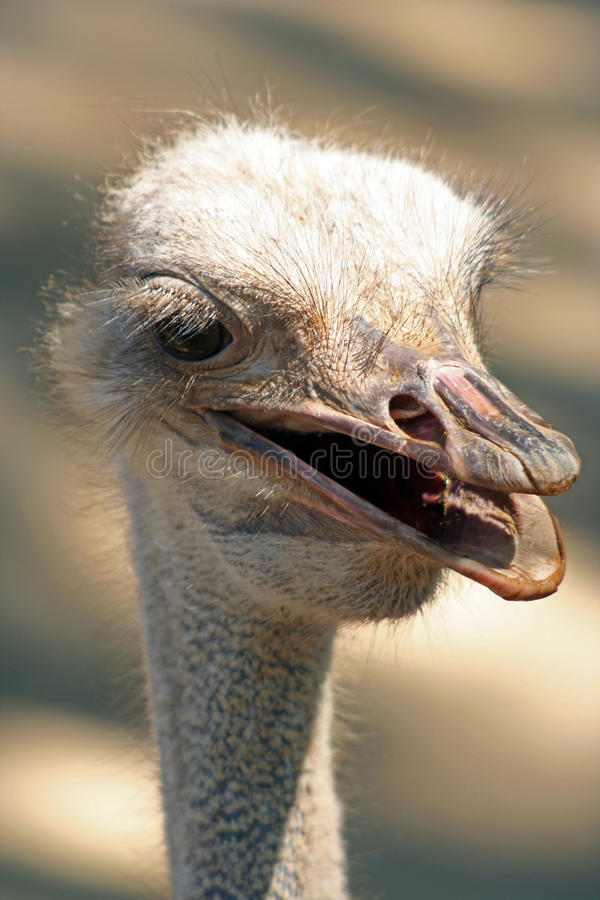 Ostrich head. Detail of the head of an ostrich (Struthio camelus royalty free stock photography