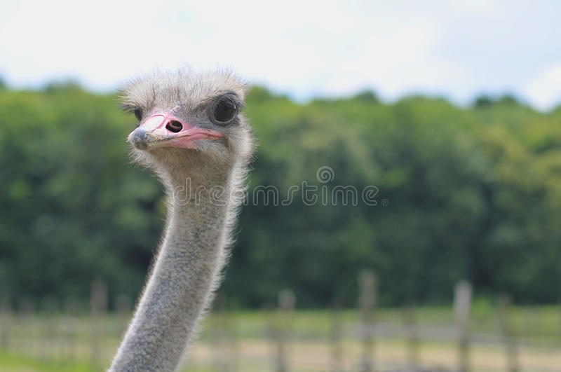 Ostrich head. Ostrich on the field head close up royalty free stock images