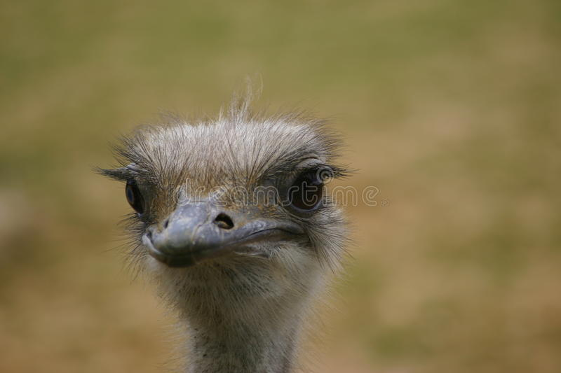 Ostrich head and neck. Ostrich (Struthio camelus) head and neck with green and brown blurred background stock photo