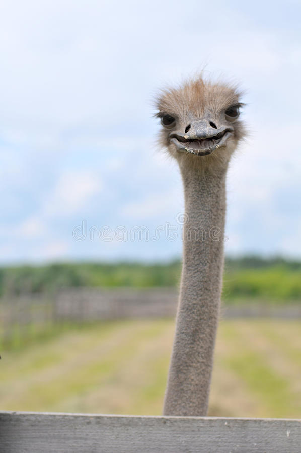Ostrich head smile. Ostrich smile head close up stock photography