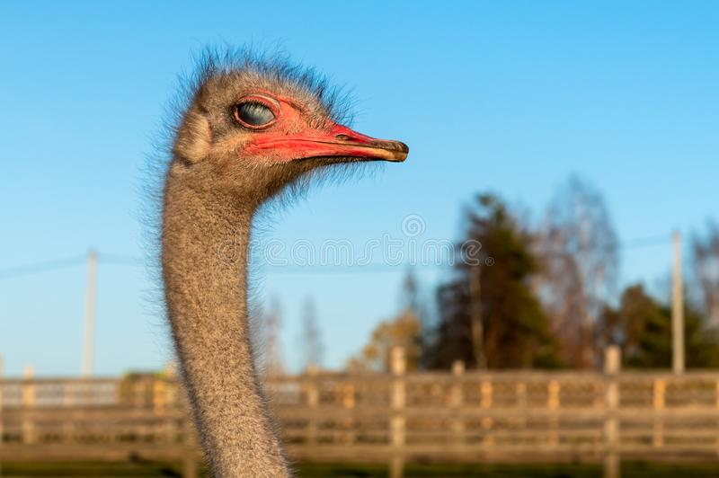The ostrich head with visibility of the third eyelid of the eye of white color stock images