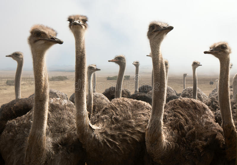 Ostrich heads. Group of ostriches on a farm with misty clouds