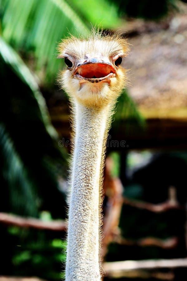 Ostrich i Khao Kheow den öppna zooen arkivfoto