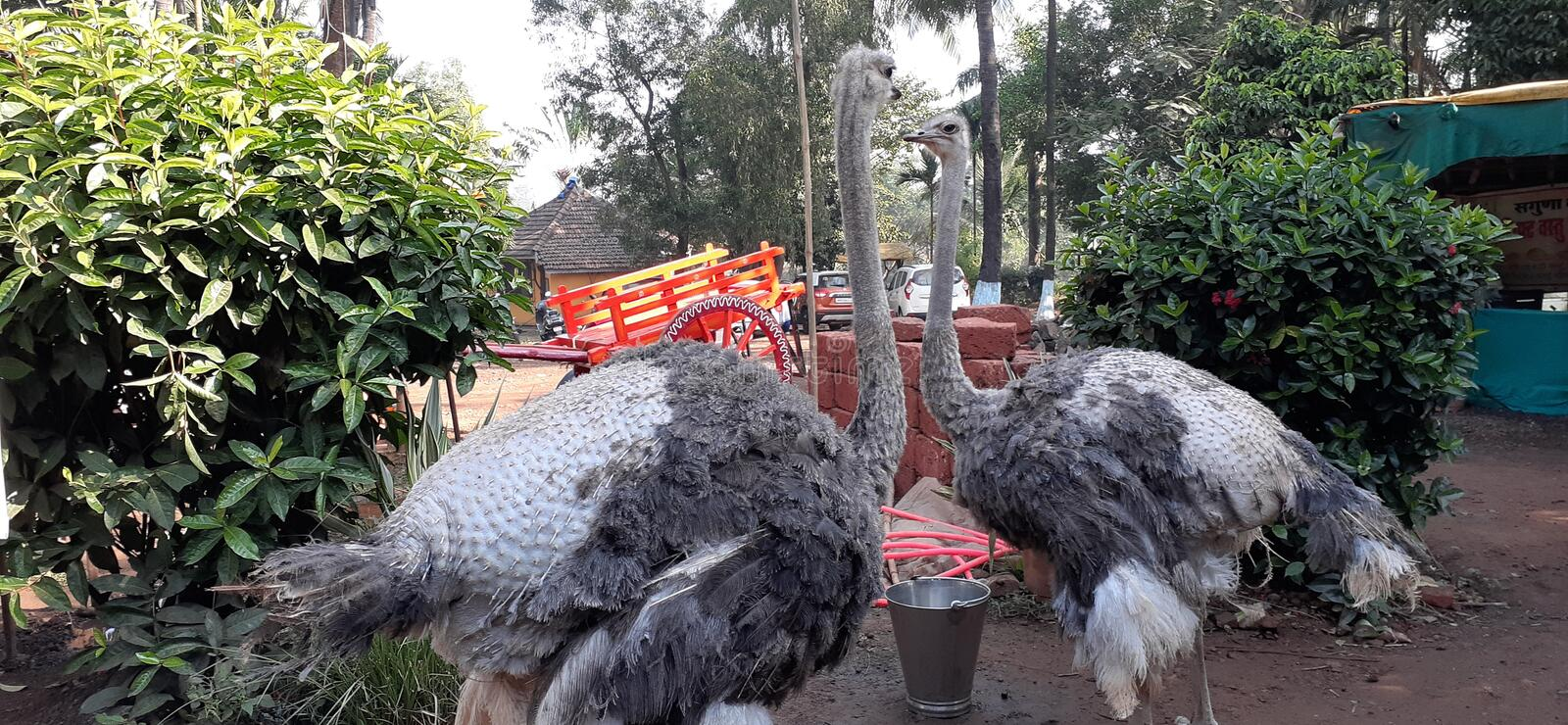 OSTRICH IN INDIA FOR FUN royalty free stock images