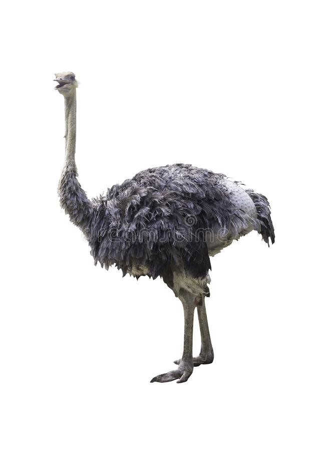 Ostrich isolated on white. With clipping path royalty free stock photo