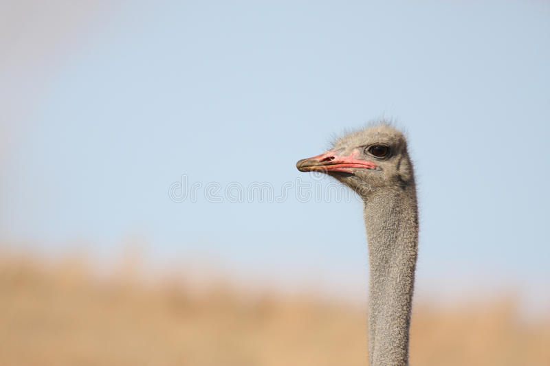 Ostrich. Lonly Wild ostrich in south africa royalty free stock image