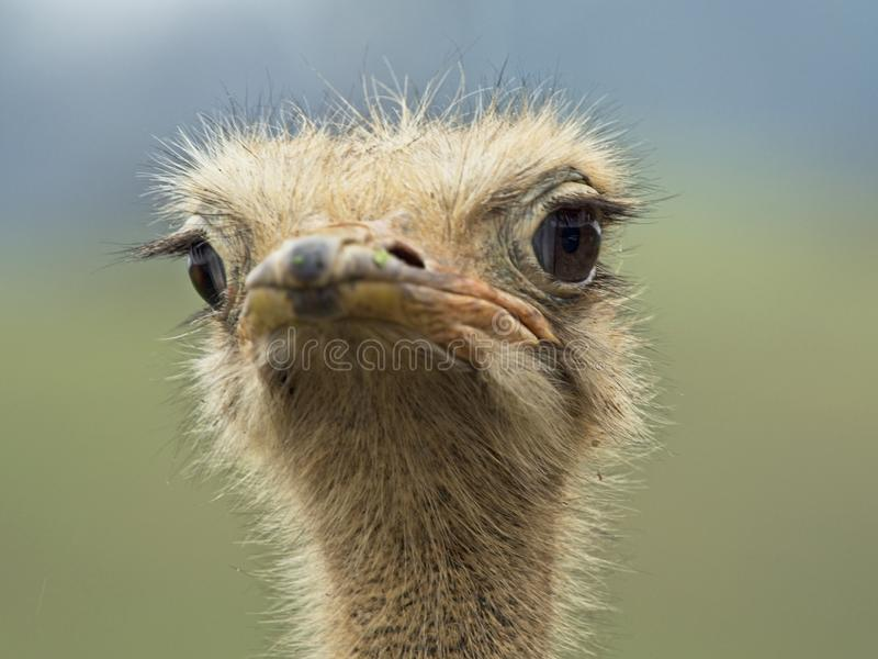 Ostrich looking at the camera. A curious ostrich watching and looking at the camera stock images
