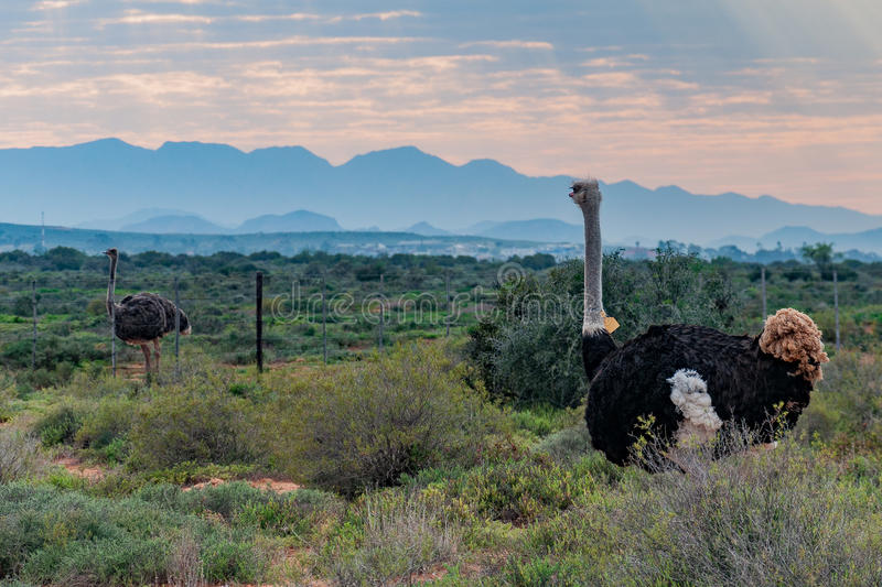 Download Ostrich stock photo. Image of oudtshoorn, mountains, male - 77307670