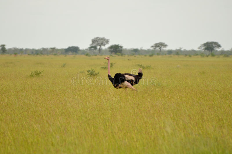 Ostrich. A male ostrich on the plains of the Serengeti royalty free stock photo