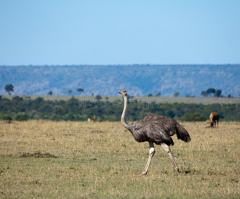 Ostrich on the Masai Mara stock image