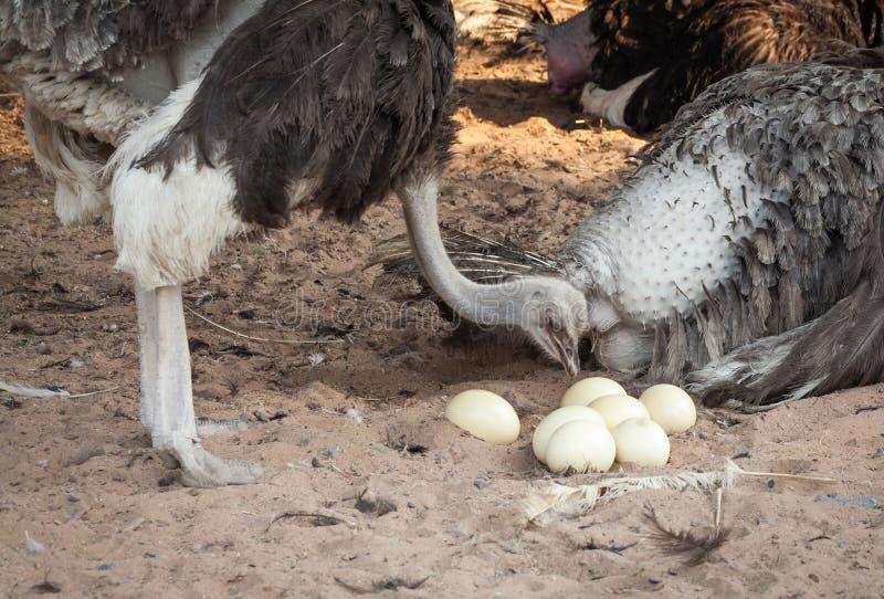 Ostrich. royaltyfria bilder