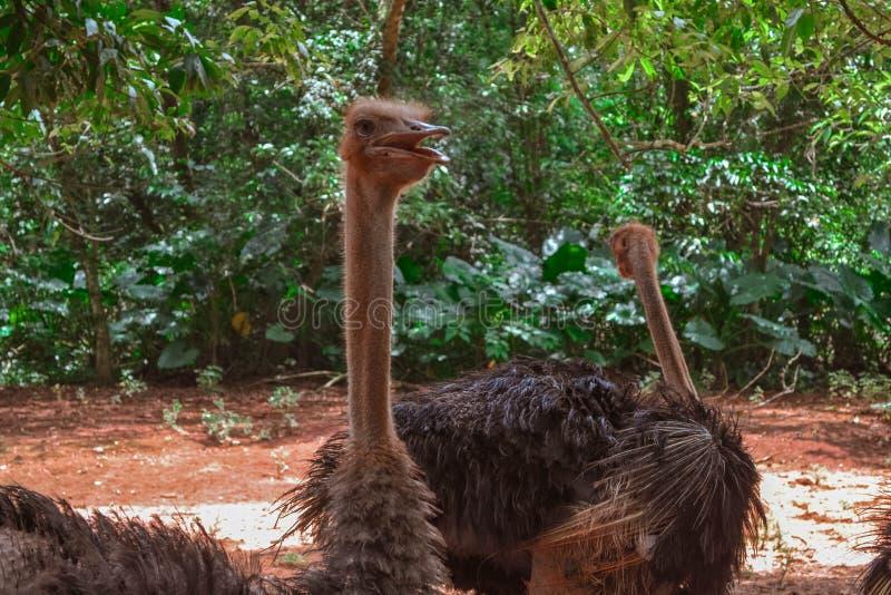 Ostrich nel parco Hainan fotografie stock libere da diritti